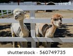 Two Young Alpacas  One In Whit...
