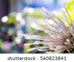 pink flower  quezonla clos  up | Shutterstock . vector #560823841