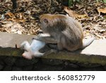Small photo of The adult female sits on the stone and collects fleas have little monkeys,which lies belly-up.