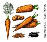 carrot hand drawn illustration... | Shutterstock . vector #560875495