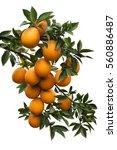 Isolated  Branch Orange  Tree ...