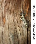 Brown Common Fence Lizard ...