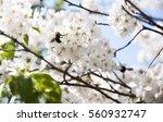 Honey Bee In  Sakura Or Cherry...