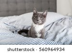 Stock photo tiny fluffy gray and white kitten sitting on blue striped sheets 560964934