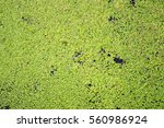 Thick Small Duckweed Lemna...