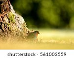 sparrow in a field | Shutterstock . vector #561003559