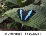 Blue Butterfly  Morpho Helenor...