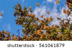 Monarch Butterflies On Tree...