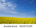 Rapeseed Field With Blue Sky ...