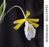 Small photo of encyclia mariae blooming flower