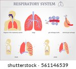 respiratory system  diagram of... | Shutterstock .eps vector #561146539