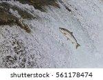 King Salmon    Oncorhyncus...