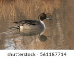 pintail perfect pose   a... | Shutterstock . vector #561187714