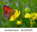 Purple Edged Copper Butterfly ...