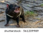 Small photo of Tasmanian devil (Sarcophilus harrisii)