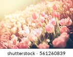 Tulips Flower Garden At The...