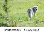 A Coyote Walking Through A...