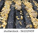 corn for pig on tuck   Shutterstock . vector #561319459