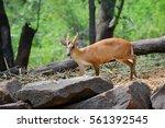 Muntiacini  Barking Deer ...