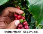 coffee beans ripening on a tree. | Shutterstock . vector #561398581