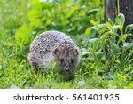 hedgehog among the green grass... | Shutterstock . vector #561401935