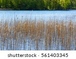 Reeds In The Lake In Summer