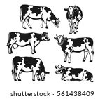 Stock vector holstein cattle silhouette set cows front side view walking lying grazing eating standing 561438409