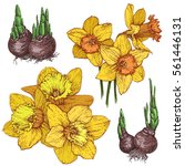 hand drawn set with daffodil ... | Shutterstock .eps vector #561446131