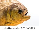 piranha fish on isolated with... | Shutterstock . vector #561563329