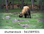 Small photo of Bhutanese Ta-kin in the Nature Reserve, cattle chamois, the national animal of Bhutan, the eastern Himalayas