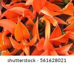 bustard teak | Shutterstock . vector #561628021