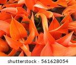 bustard teak | Shutterstock . vector #561628054