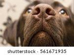 A Brown Nose Of Labrador  Clos...