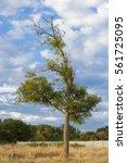 Fraxinus Tree