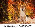 shiba inu portrait in autumn...   Shutterstock . vector #561733687