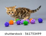 Stock photo little kitten british marble plays with balls on grey background 561753499