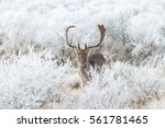 Fallow Deer In A Winter Settin...