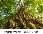 old linden tree with textured