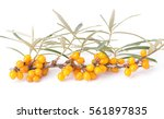 sea buckthorn isolated on the... | Shutterstock . vector #561897835