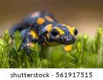 Fire Salamander Newt ...