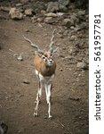 Small photo of Impala , Aepyceros melampus