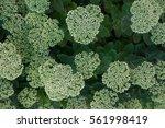 stonecrop. many nice flowers... | Shutterstock . vector #561998419