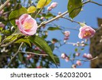 Pale Pink Camellia Flowers...