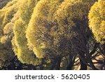 autumn trees. | Shutterstock . vector #5620405