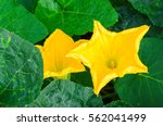 Pumpkin Flower In Vegetable...