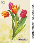 bouquet of tulips for greeting... | Shutterstock .eps vector #562051855