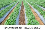 Rows Of Strawberry Plants In A...