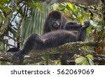 Small photo of Couple of Black Howler Monkeys (Alouatta nigra), Belize