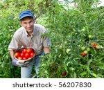 Smiling Man Picking Tomatoes I...