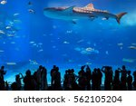 Small photo of Whale sharks swimming in Okinawa Churaumi Aquarium, Okinawa , Japan - 05 Jan 2017: It was the largest aquarium in the world until it was surpassed by the Georgia Aquarium in 2005.